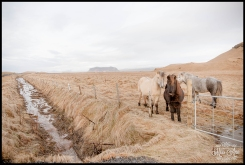 Icelandic Horses Photos by Miss Ann